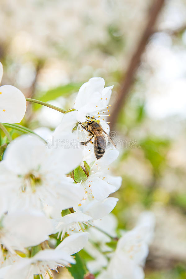 蜂收集花蜜和花粉在一进展的樱桃树branc 免版税库存照片