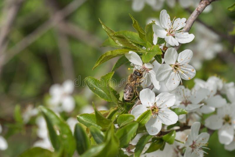 蜂收集花蜜和花粉在白色樱桃花 免版税库存照片