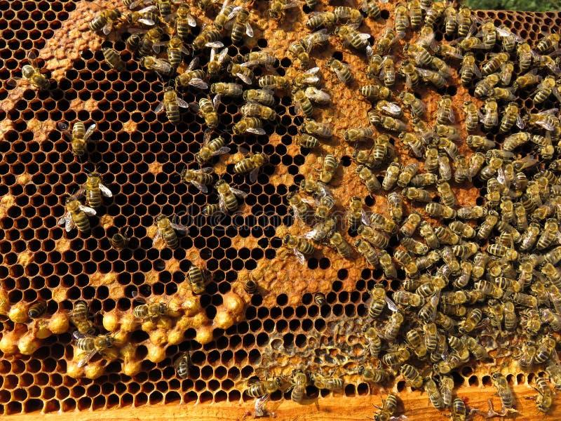 蜂收集花蜜和花粉 图库摄影