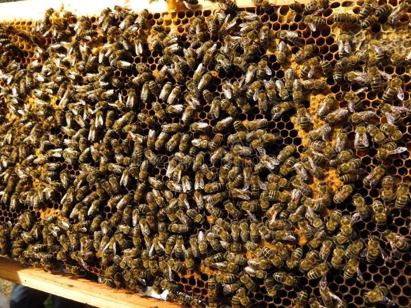 蜂收集花蜜和花粉 免版税库存照片