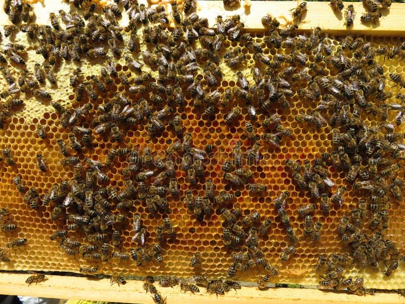 蜂收集花蜜和花粉 免版税库存图片