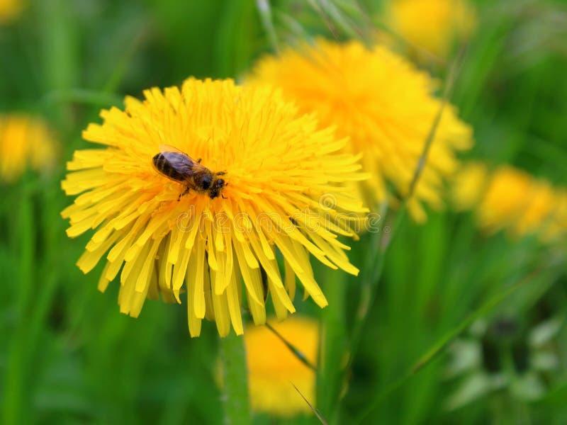 蜂收集花蜜,蒲公英 免版税库存照片