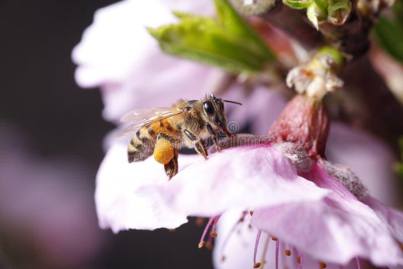 蜂收集花蜜 免版税库存照片
