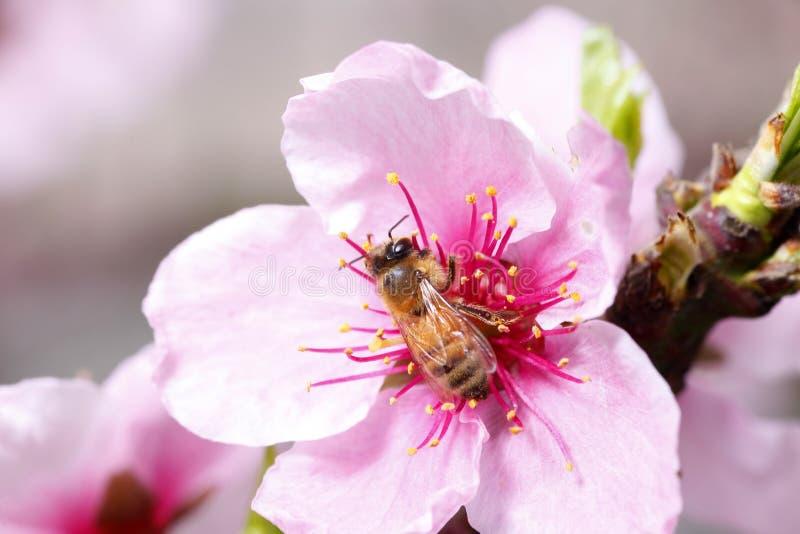 蜂收集花蜜 免版税库存图片