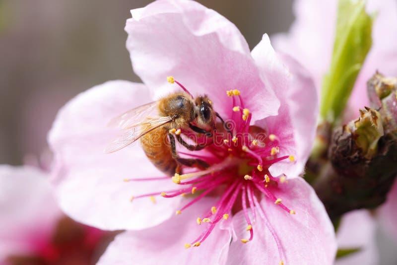 蜂收集花蜜 免版税图库摄影