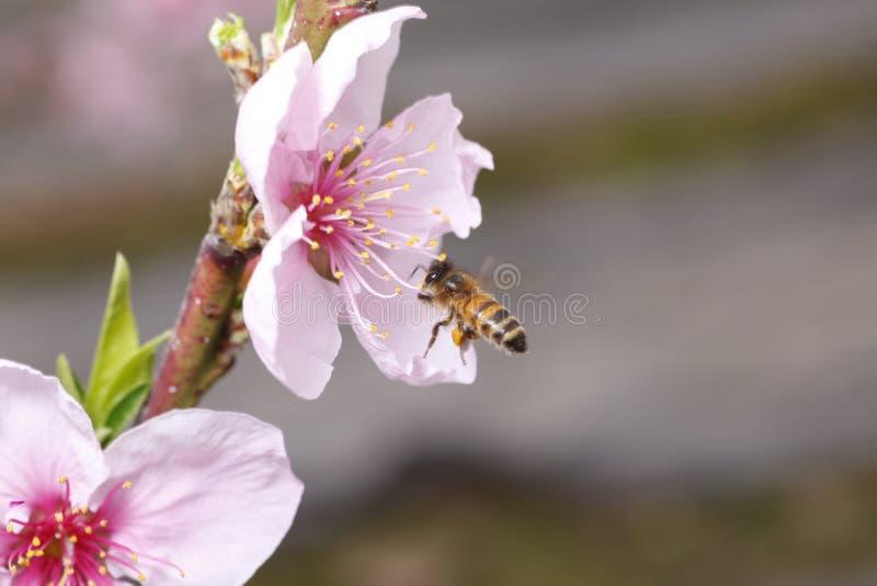 蜂收集花蜜 库存图片