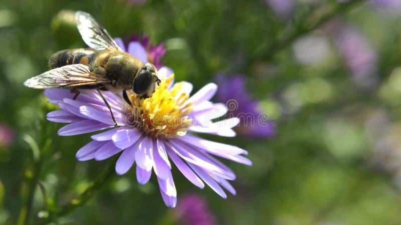 蜂昆虫坐花宏指令 免版税库存图片
