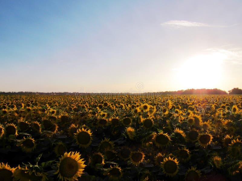 蜂明亮的中心花晚夏星期日向日葵黄色 库存照片