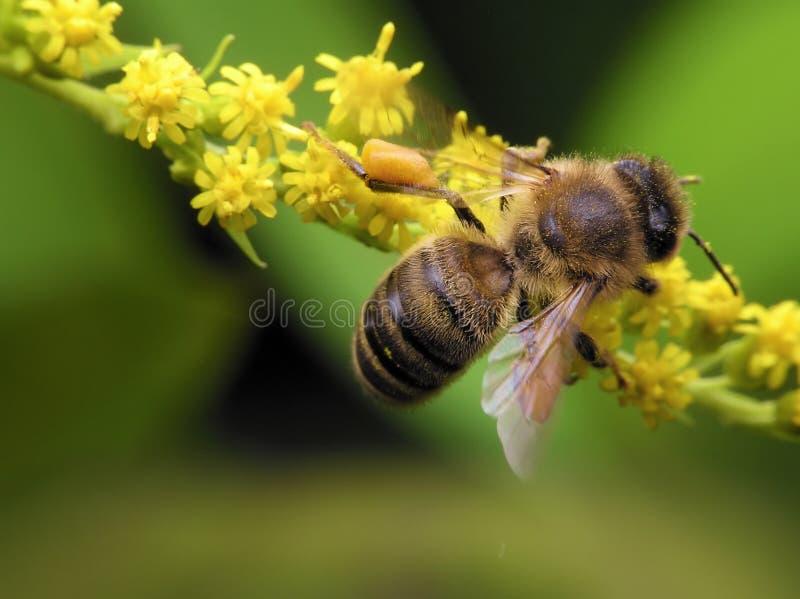 蜂春天 库存图片