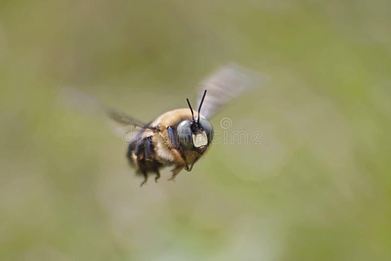 蜂服装小飞行的女孩 库存照片