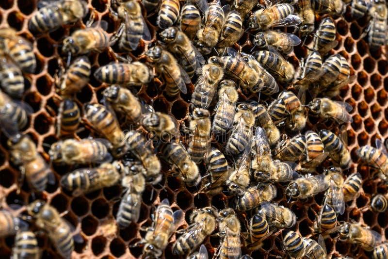 蜂特写镜头在蜂窝的在蜂房蜂蜜蜂选择聚焦 库存图片