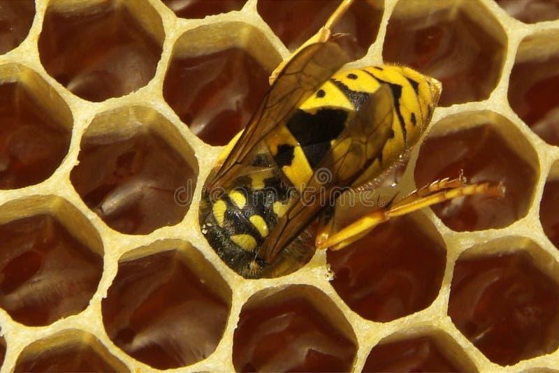 蜂特写镜头在蜂窝的在蜂房