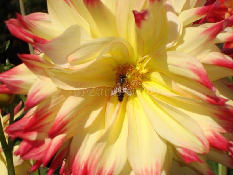蜂特写镜头在黄色红色大丽花花的 免版税库存图片