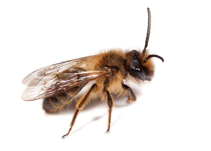 蜂男性开采 库存照片