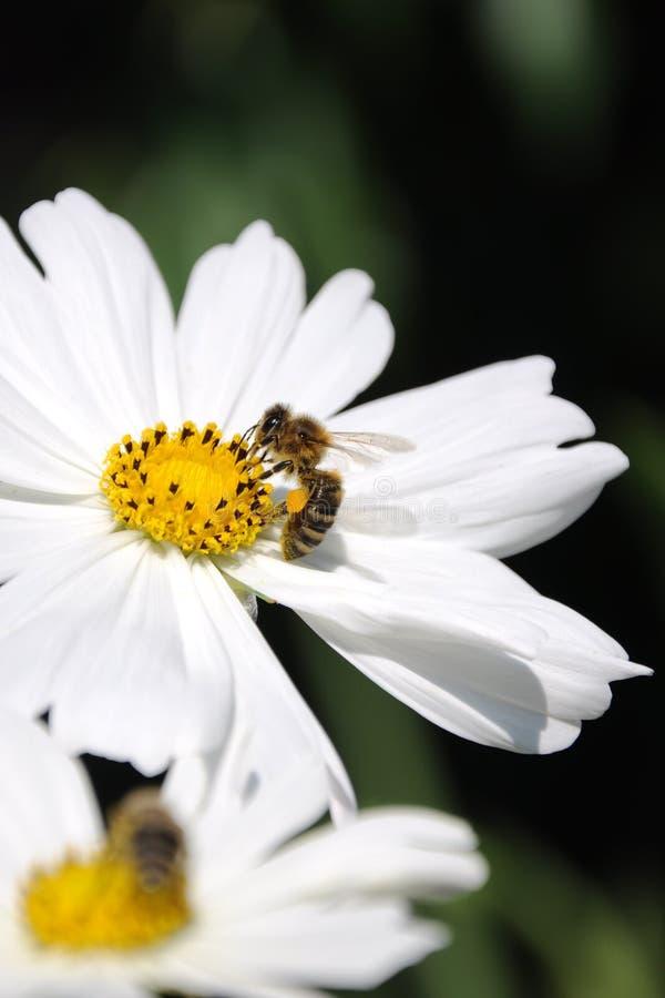 蜂的生长花 库存照片