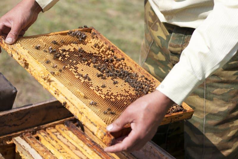蜂窝用新鲜的黄色蜂蜜和蜂在蜂房 蜂农保留与工作的蜂的蜂窝,收集 免版税库存图片