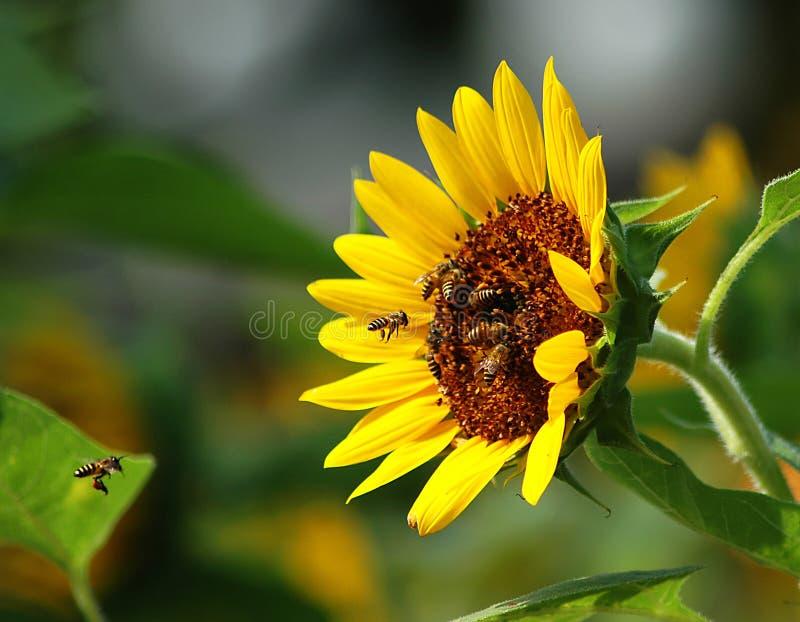 蜂繁忙的向日葵 免版税库存图片