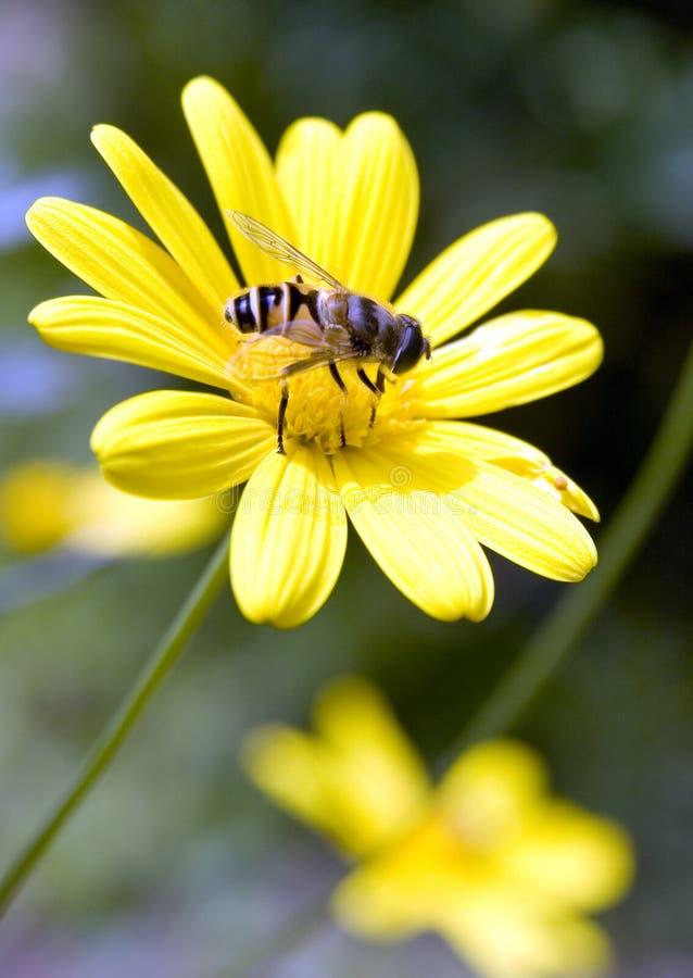 蜂繁忙的春天 免版税库存图片