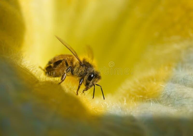 蜂繁忙的蜂蜜甘露 免版税库存照片