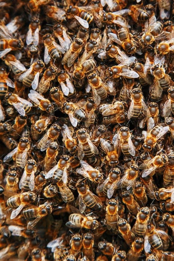蜂群在蜂房的 以纹理特写镜头的形式许多蜂 E 库存图片