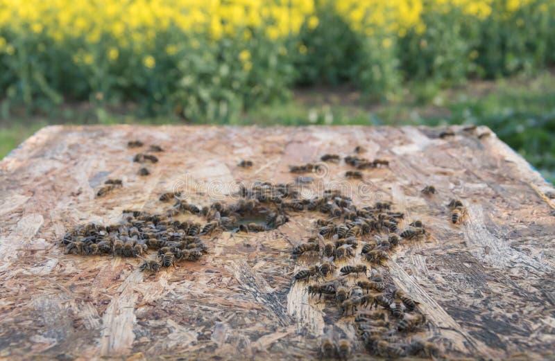 蜂群在蜂箱的 蜂在领域分群 库存图片