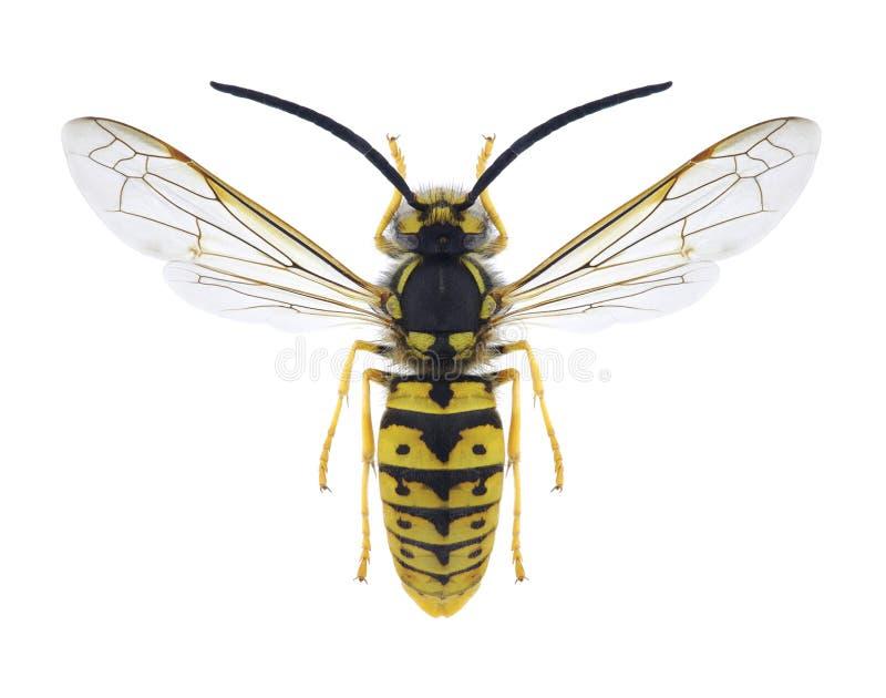 黄蜂群居黄蜂germanica男性 免版税库存图片