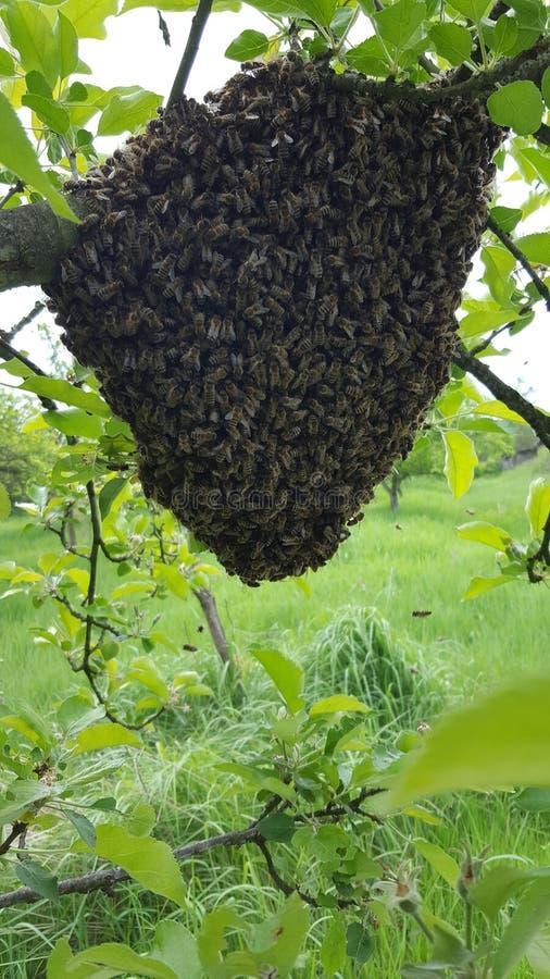 蜂群 免版税图库摄影