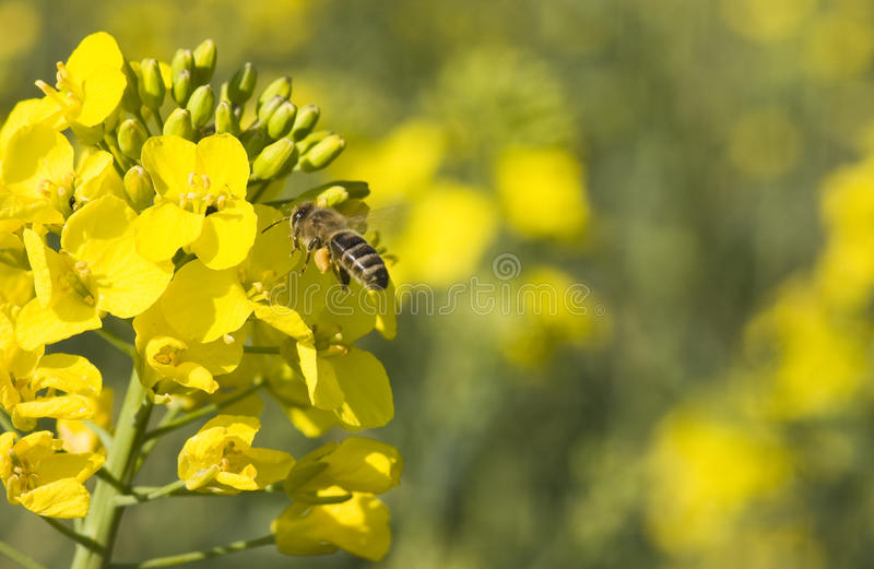 蜂花种植油菜籽 免版税库存图片