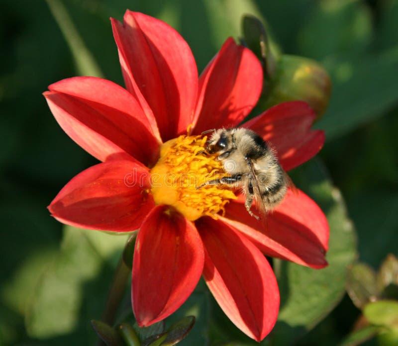 蜂花红色 免版税库存照片