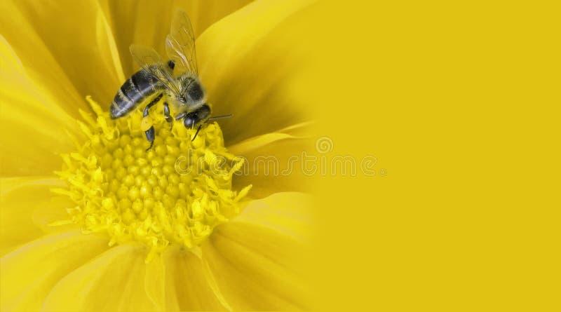 蜂花蜂蜜 图库摄影
