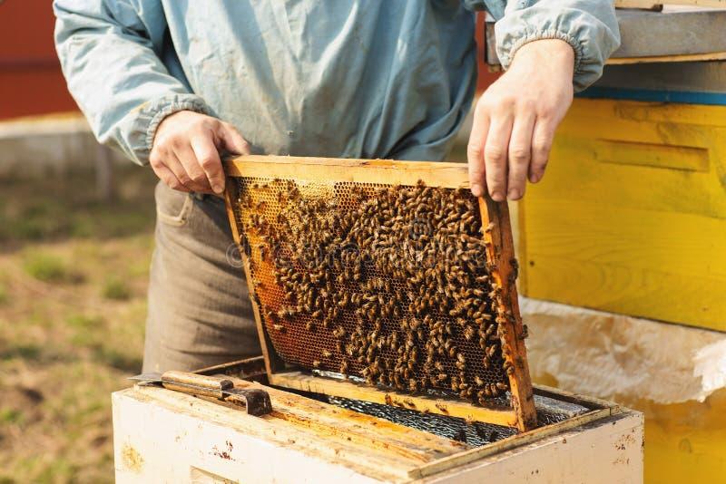 蜂蜂房的框架 收获蜂蜜的蜂农 蜂吸烟者用于在框架撤除前镇定蜂 免版税图库摄影