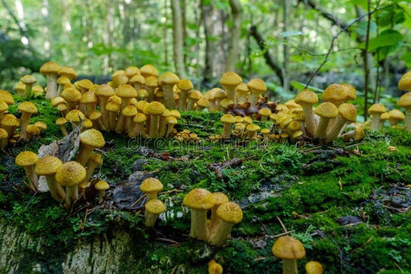 蜂蜜伞菌蘑菇在秋天森林小组的树增长狂放的蘑菇蜜环菌属 免版税图库摄影