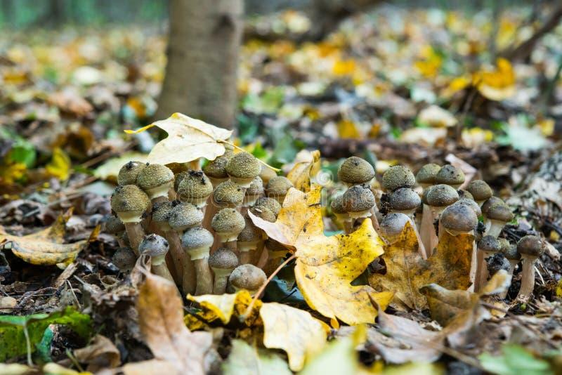 蜂蜜伞菌蘑菇 免版税库存图片