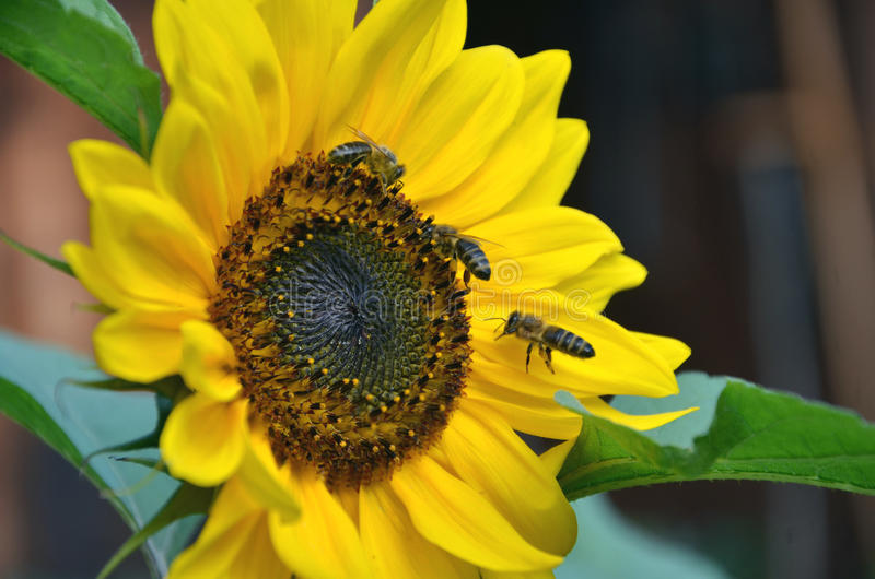 蜂蜜在绽放的向日葵蜜蜂飞行收集花花蜜和花粉在阳光下 库存照片