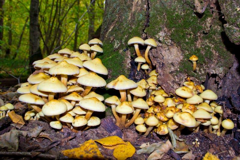 蜂蜜蘑菇 免版税库存照片