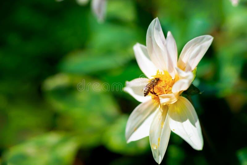 蜂蜜蜂坐白花 库存图片