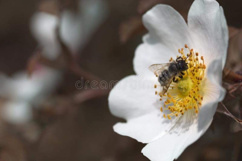 蜂蜜蜂坐白花 库存照片