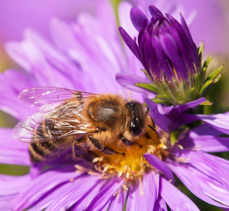 蜂蜜蜂坐violetflower 库存图片