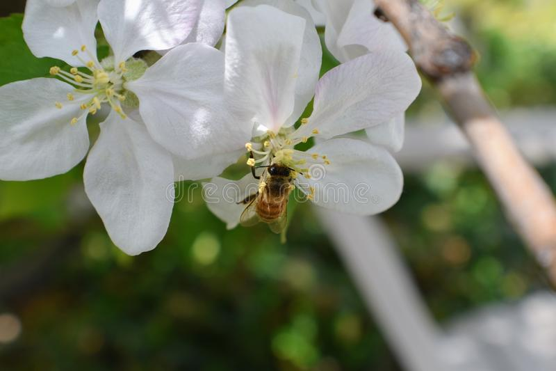 蜂蜜蜂宏指令春天,白色苹果开花花关闭,蜂收集花粉和花蜜 苹果树芽,春天backg 库存照片