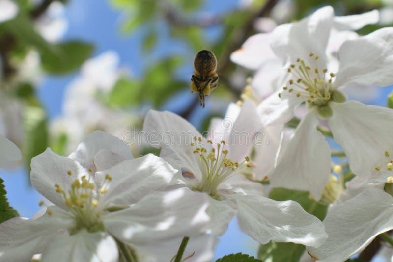 蜂蜜蜂宏指令春天,白色苹果开花花关闭,蜂收集花粉和花蜜 苹果树芽,春天backg 库存图片