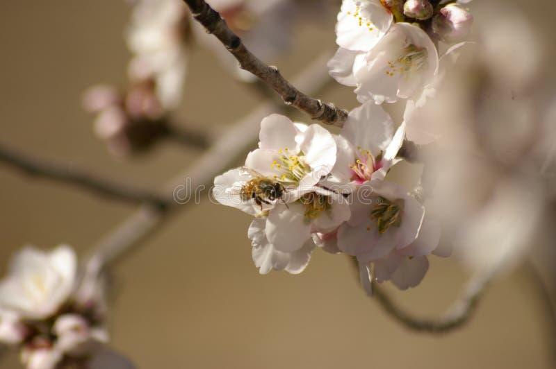 蜂蜜蜂异花受粉的白色杏仁开花 库存照片
