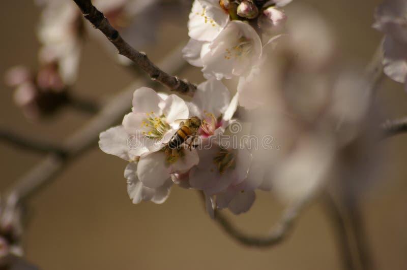 蜂蜜蜂异花受粉的白色杏仁开花 免版税图库摄影