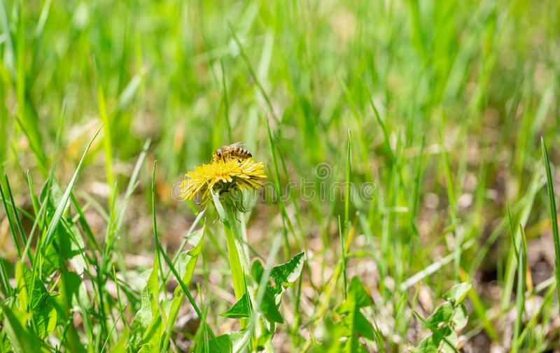 蜂蜜蜂授粉黄色花在春天草甸 免版税库存照片