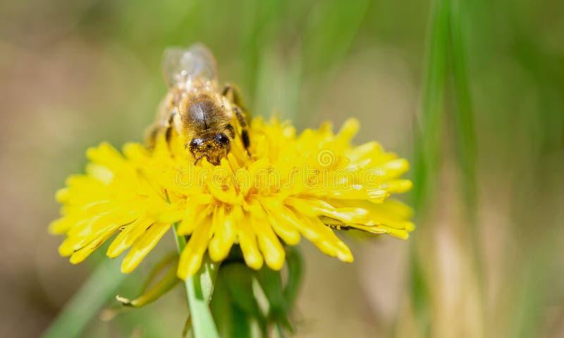 蜂蜜蜂授粉黄色花在春天草甸 图库摄影