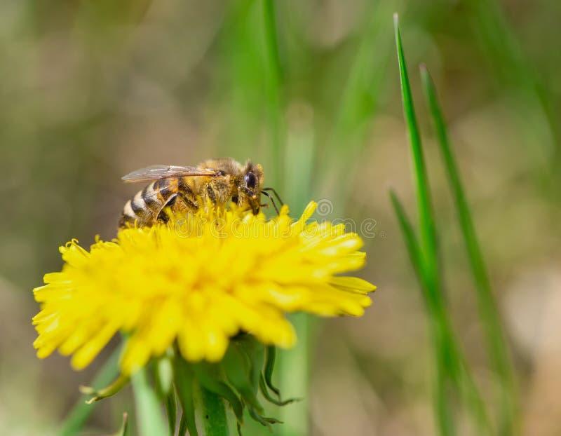 蜂蜜蜂授粉黄色花在春天草甸 免版税库存图片