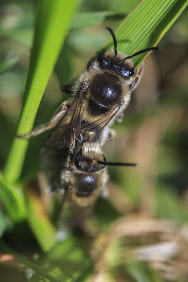 蜂蜜蜂求爱 免版税库存图片