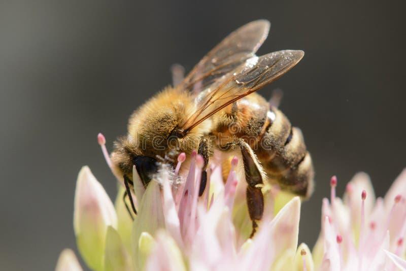 蜂蜜蜂细节在花的在庭院里 库存图片