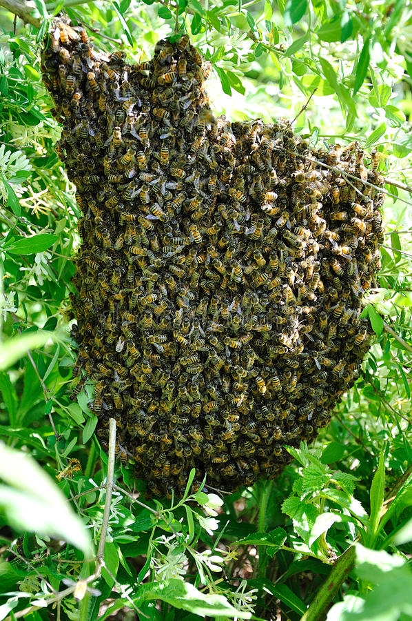 蜂蜜蜂群 库存照片