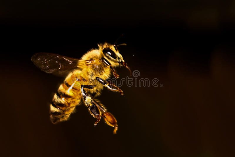 蜂蜜蜂飞行 免版税图库摄影