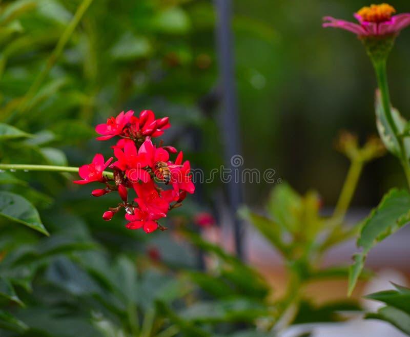 蜂蜜蜂(Apis)在Ixora植物(Ixora coccinea) 图库摄影
